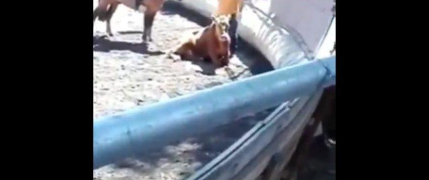 Histórico: declaran admisible la primera querella por maltrato animal ocurrido en un rodeo